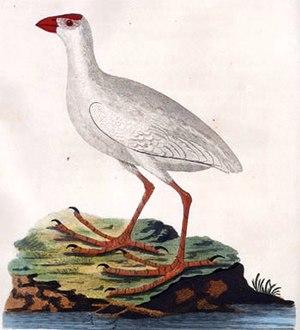Lord Howe swamphen - Illustration probably based on a live specimen by Arthur Phillip, 1789