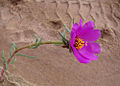 Portulaca grandiflora (8676299895).jpg