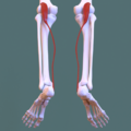 Posterior compartment of leg - plantaris.png