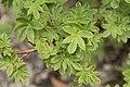 Potentilla fruticosa var. mandshurica 02.jpg