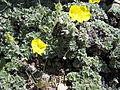 Potentilla uniflora (4546618708).jpg