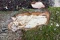 Pourriture blanche abies alba.jpg