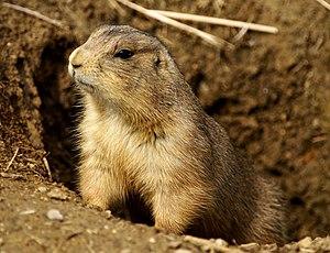 Prairie dog - Prairie dogs raise their heads from their burrows in response to disturbances.