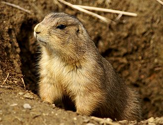 Prairie dog - Prairie dogs raise their heads from their burrows in response to disturbances.