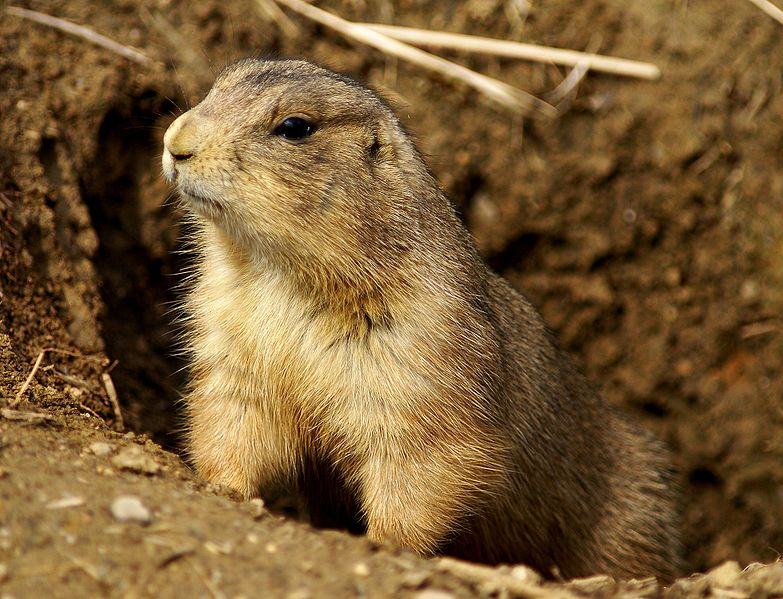 File:Prairie Dog Washington DC 1.jpg