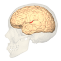 Primary auditory cortex - lateral view.png