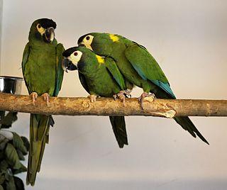 Golden-collared macaw species of bird