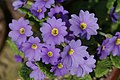 Primula renifolia 01.jpg