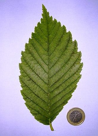 Ulmus americana 'Princeton' - Image: Princeton leaf