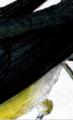 Prononatory warbler detail 1.png