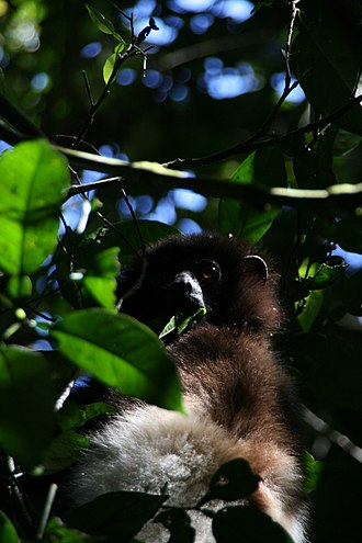 Milne-Edwards' sifaka - nestling in foliage