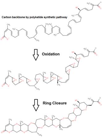 Brevetoxin - Proposed pathway for brevetoxin-B