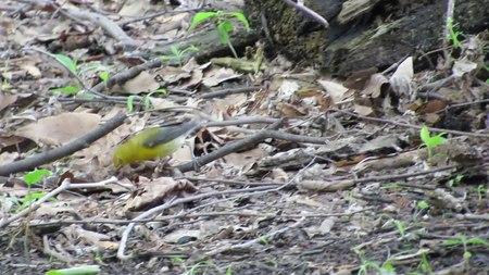 File:Prothonotary warbler (Protonotaria citrea).webm