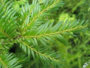Prumnopitys ferruginea - Miro foliage