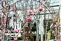 Prunus persica Crimson Cascade 8zz.jpg