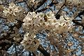 Prunus serrulata 2005 spring 021.jpg