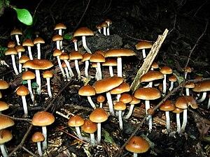Psilocybin mushroom - Psilocybe allenii