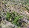 Psoralea margaretiflora bush 3.jpg