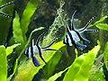 Pterapogon kauderni 5198.JPG