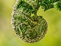 Pteridophyta leaf tip macro-20200426-RM-095038.jpg