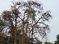 Pteropus giganteus colony.JPG