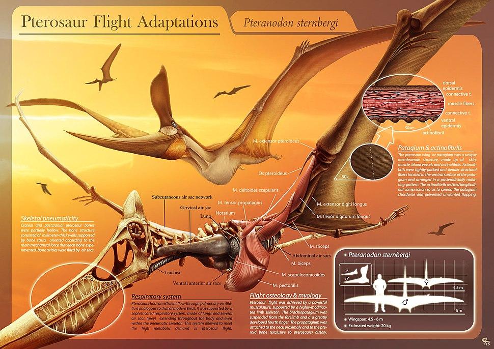 Pterosaur Flight Adaptations - Pteranodon sternbergi - Hugo Salais L%C3%B3pez