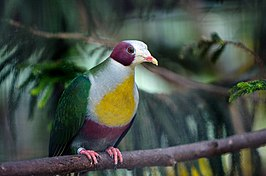 Ptilinopus occipitalis -zoo -adult-8a.jpg