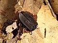 Ptomaphila perlata (27744470217).jpg