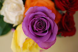 Purple Rose3