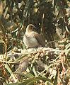 Pycnonotus barbatus 1.jpg