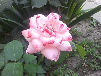 Ismailli District - Garden rose in Ismailli