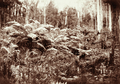 Queensland State Archives 2480 Tree ferns c 1898.png