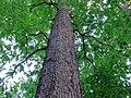 Quercus-alba-white-oak-hdr-0a.jpg