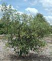 Quercus geminata (23516909393).jpg