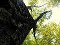 Quercus robur (3).JPG
