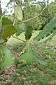 Quercus rugosa kz02.jpg