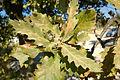Quercus trojana5.jpg