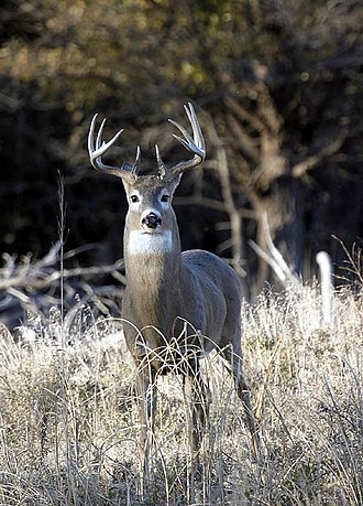 White-tailed deer - Male whitetail in Kansas