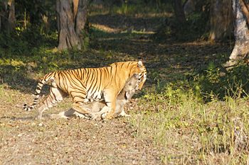 ROYAL BENGAL WITH HIS PRIZE CATCH.jpg