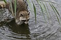 Raccoon (20474293018).jpg