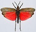 Rainbow Milkweed Locust (Phymateus saxosus) (8436612348).jpg