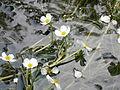 Ranunculus fluitans 002.JPG