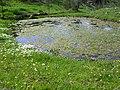 Ranunculus peltatus Habitat 2010March29 ValledeAlcudia.jpg