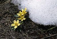 Ranunculusjovis.jpg