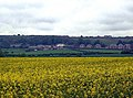 Rape Field adjacent to the Shadforth to Sherburn Hill footpath - geograph.org.uk - 433345.jpg