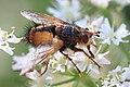 Raupenfliege Tachina male 3507.jpg