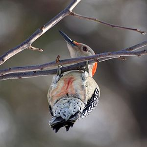 A female Red-bellied Woodpecker (Melanerpes ca...