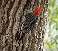Red-bellied Woodpecker. Melanerpes carolinus (26705661039).jpg
