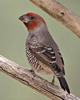 Red-headed finch, Amadina erythrocephala, at Kgalagadi Transfrontier Park, Northern Cape, South Africa (35915808782).jpg