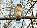 Red-shouldered Hawk (39915508694).jpg